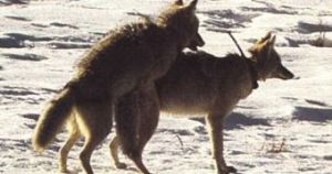 Mating Coyotes
